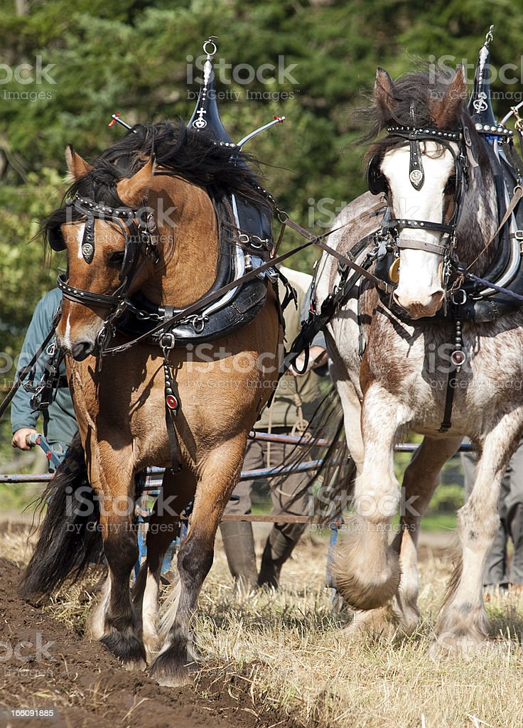 Clydesdale Horse Pair Drawing A Plough Stock Photo Download Image Now Istock