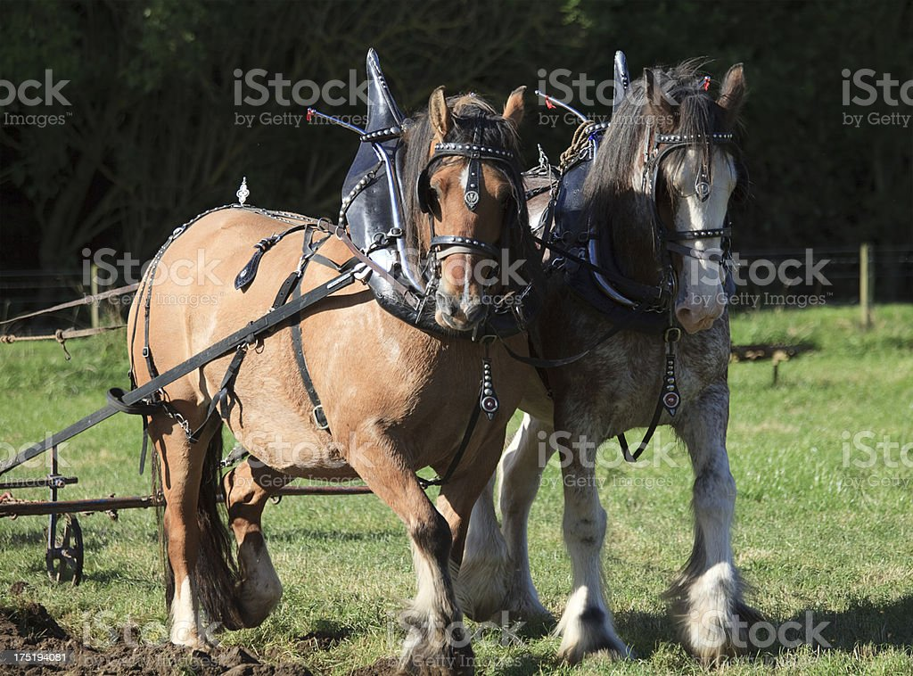 Clydesdale Horse Pair Drawing a Plough stock photo
