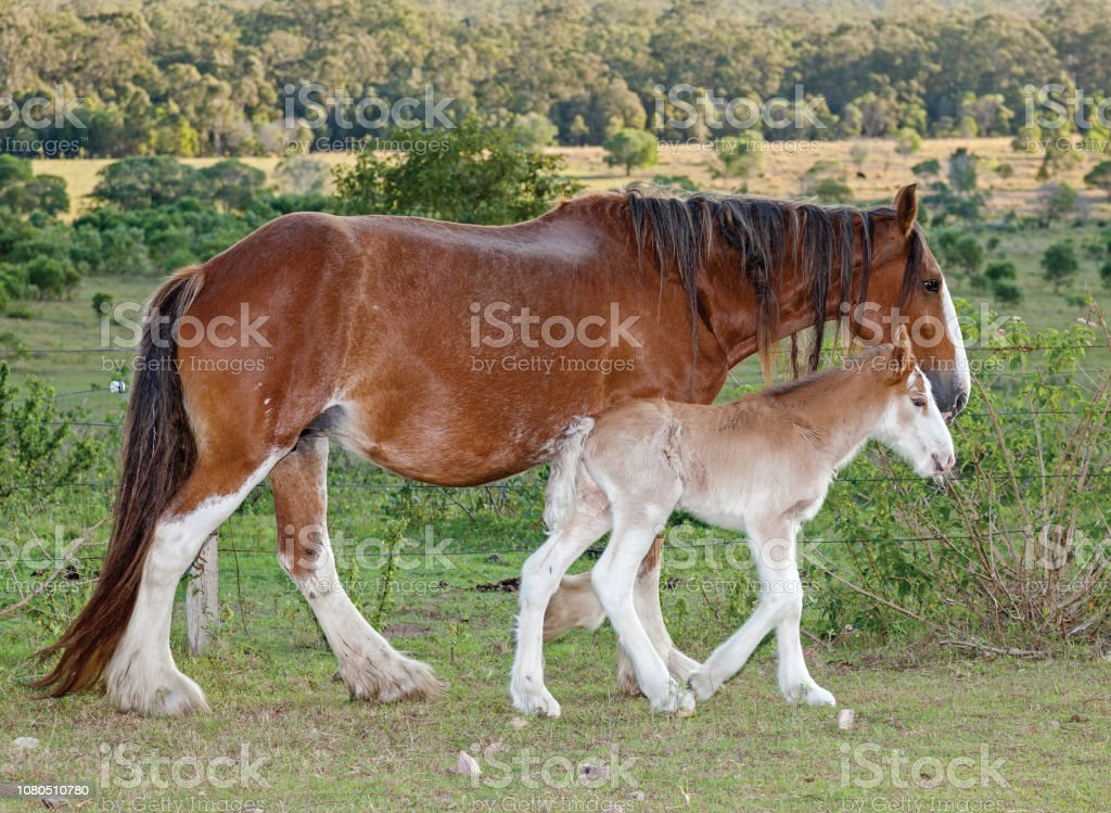 Clydesdale Horse Stock Photo Download Image Now Istock