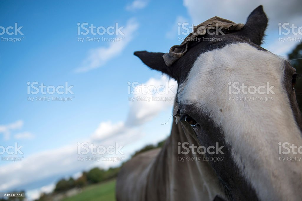 Clydesdale Horse stock photo