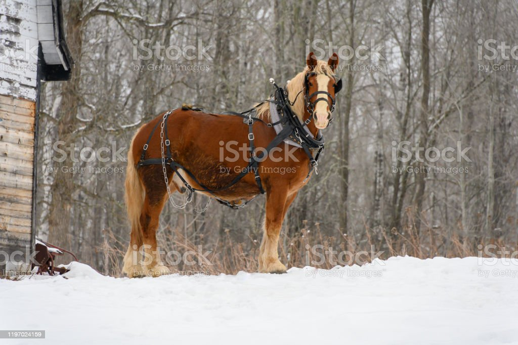 Clydesdale Horse Standing Tall Stock Photo Download Image Now Istock