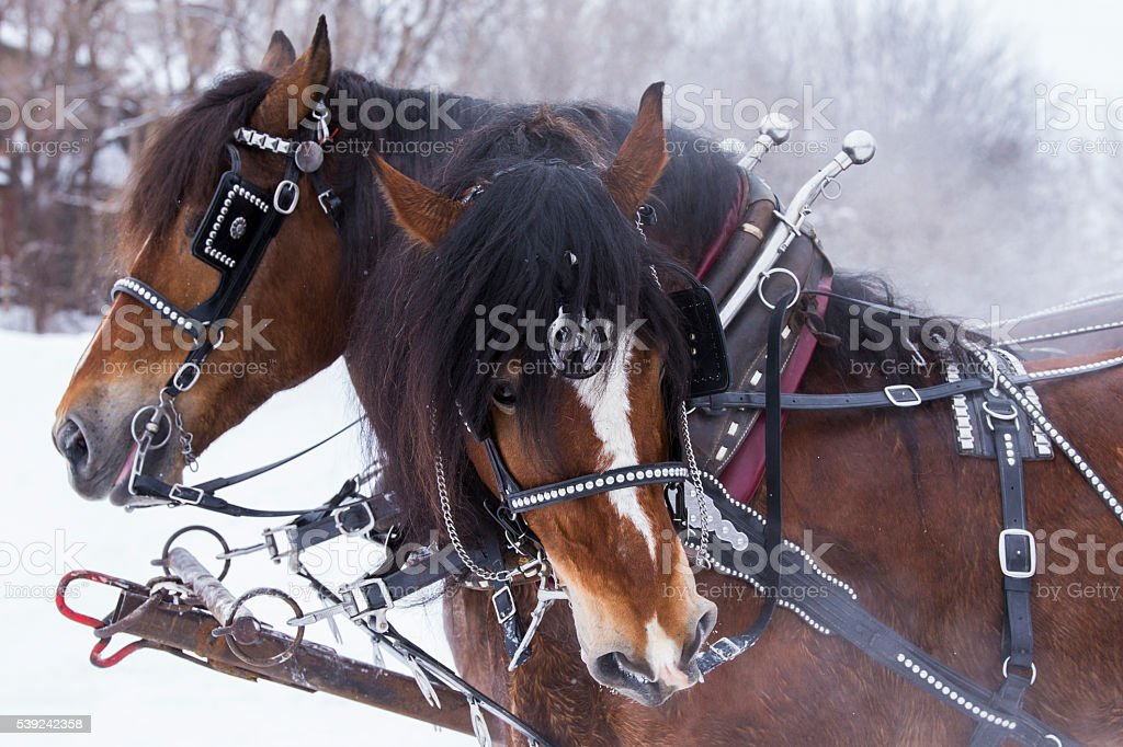 Clydesdale horses in winter stock photo