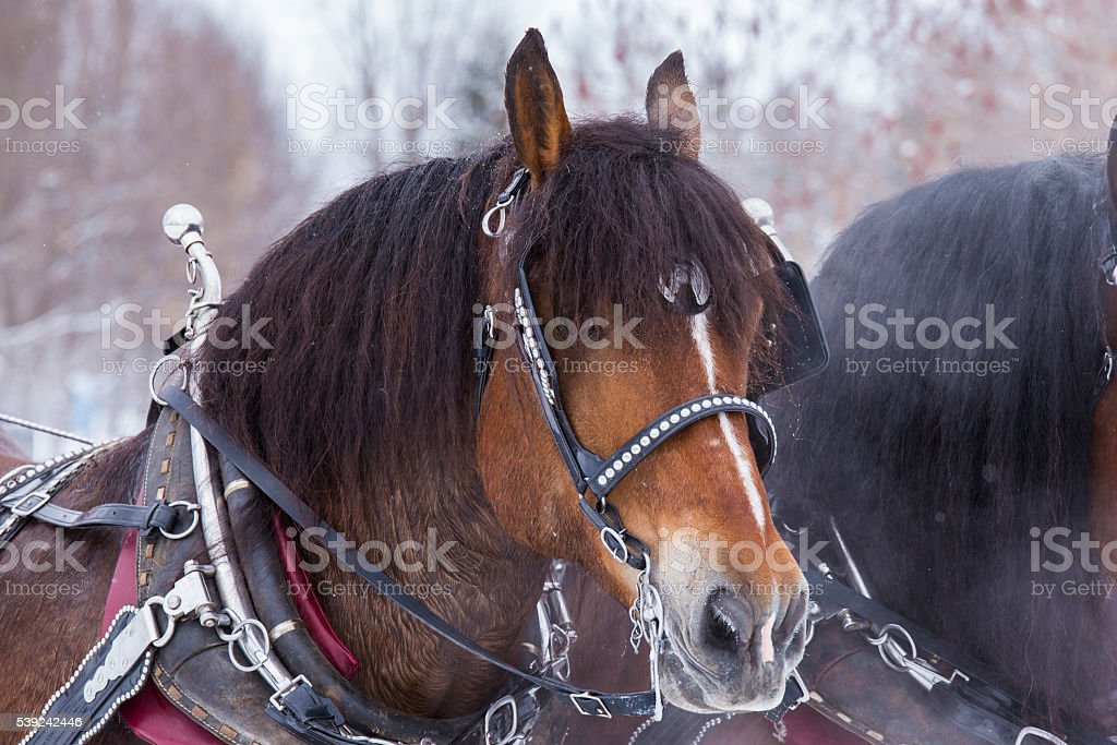 Clydesdale horses in winter royalty-free stock photo