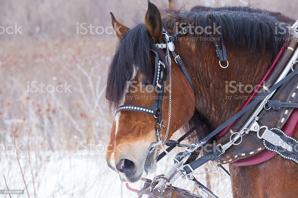 Clydesdale horses portrait stock photo