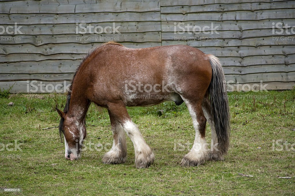 Clydesdale stallion royalty-free stock photo