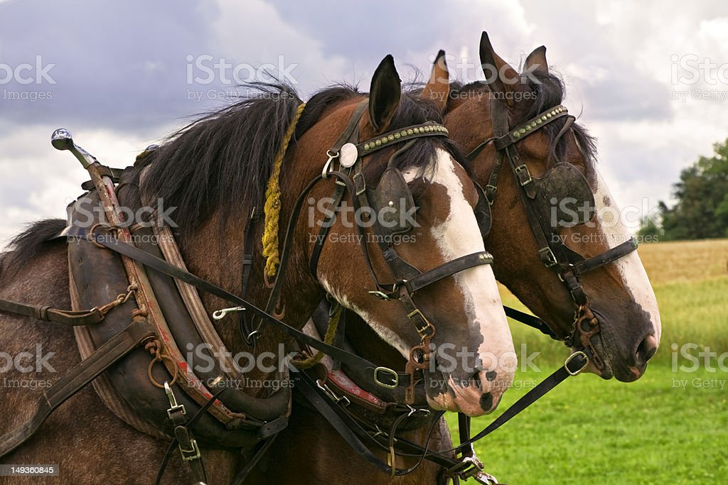 Clydesdale Team stock photo