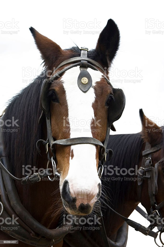 Coach Horses stock photo