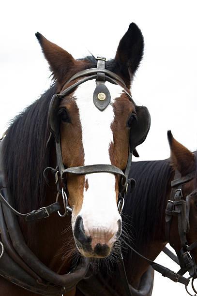 trainer-pferde - scheuklappe stock-fotos und bilder
