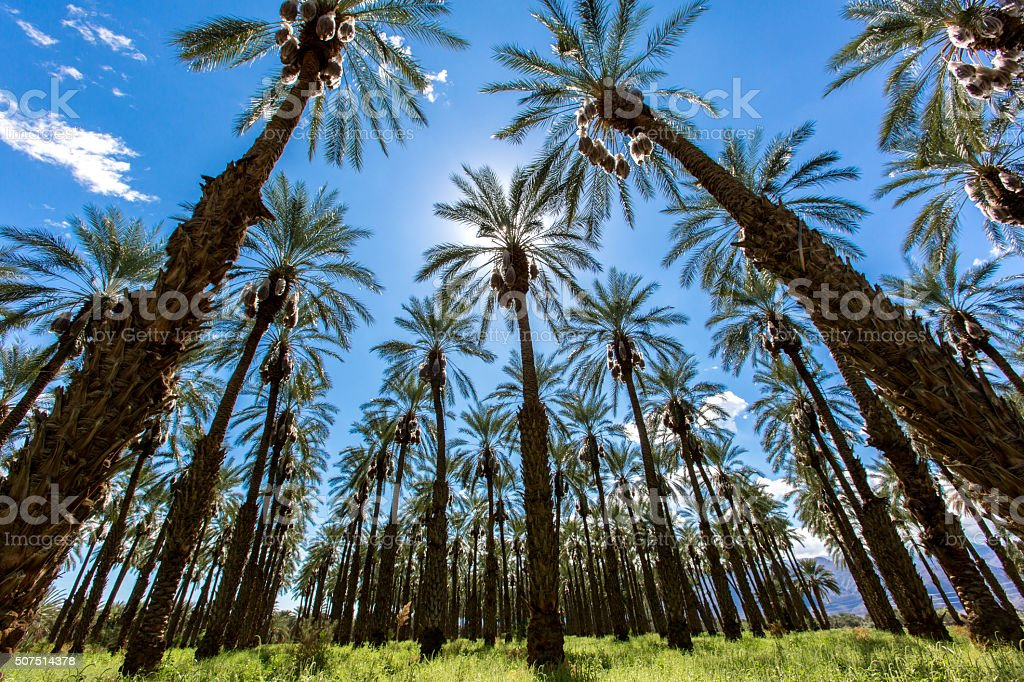 Coachella Palm Tree Date Farm stock photo