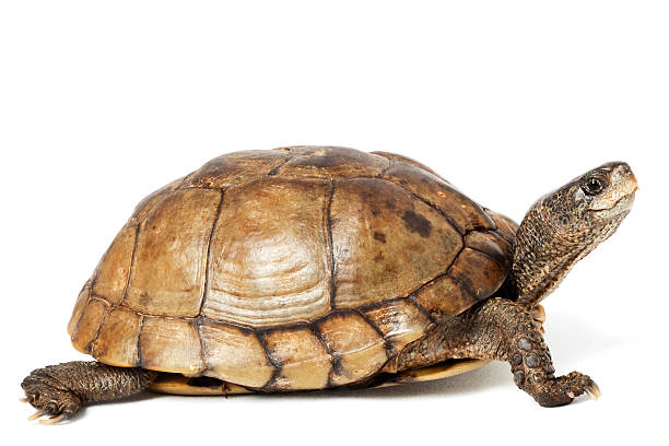 royalty free turtle pictures images and stock photos istock