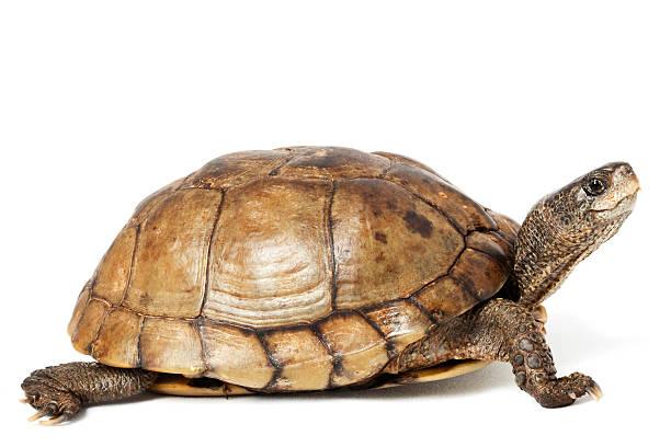 Coahuilan Box Turtle stock photo