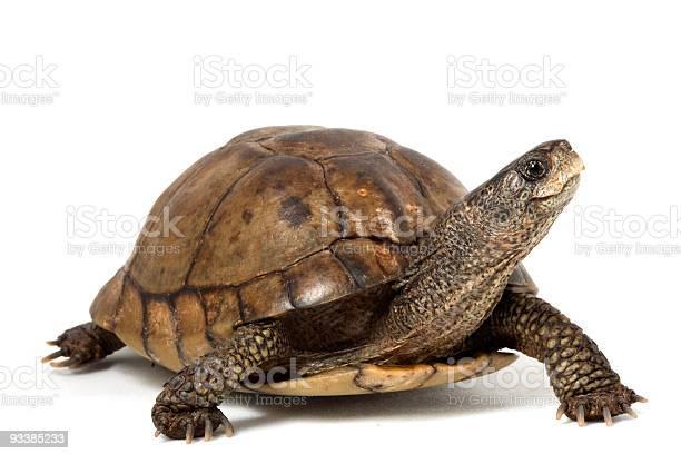 Coahuilan box turtle picture id93385233?b=1&k=6&m=93385233&s=612x612&h=fqwfdrogtduaczdzhitspvo3sdrsxe58mikamo6uzpi=