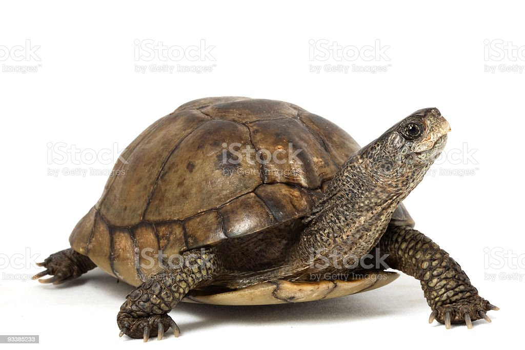 Coahuilan Box Turtle stock photo