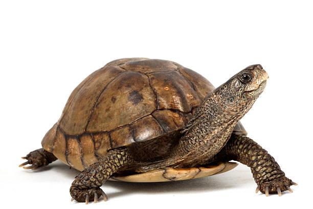 코아우일란박스터틀 - 파충류 뉴스 사진 이미지