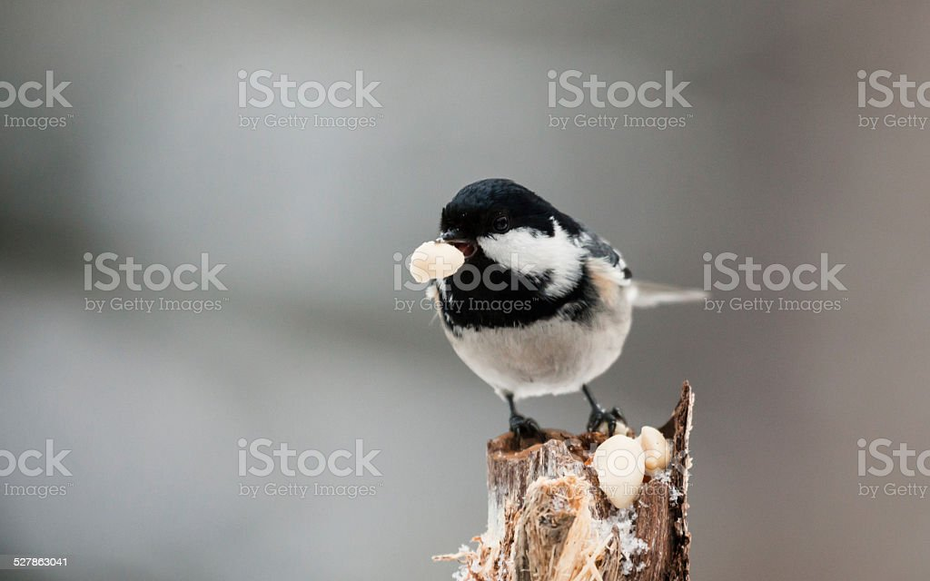 Coal tit and a peanut stock photo