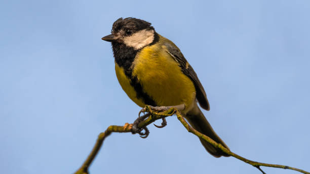 Coal Tit at the Saltwells Local Nature Reserve. stock photo