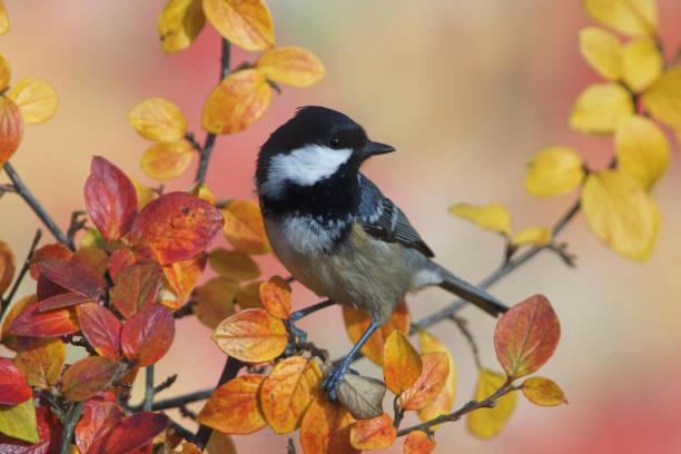 zwarte mees in de herfst - vogel herfst stockfoto's en -beelden