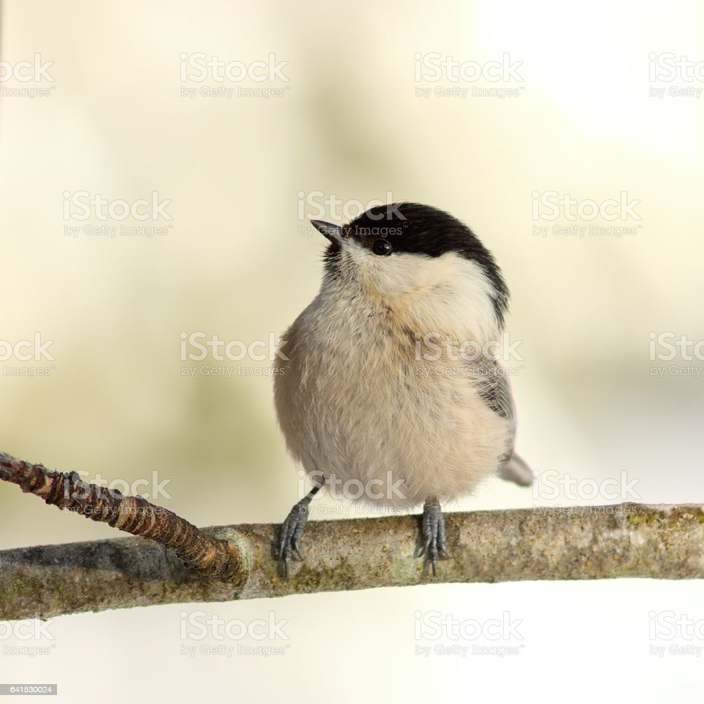 coal tit in the garden in winter stock photo