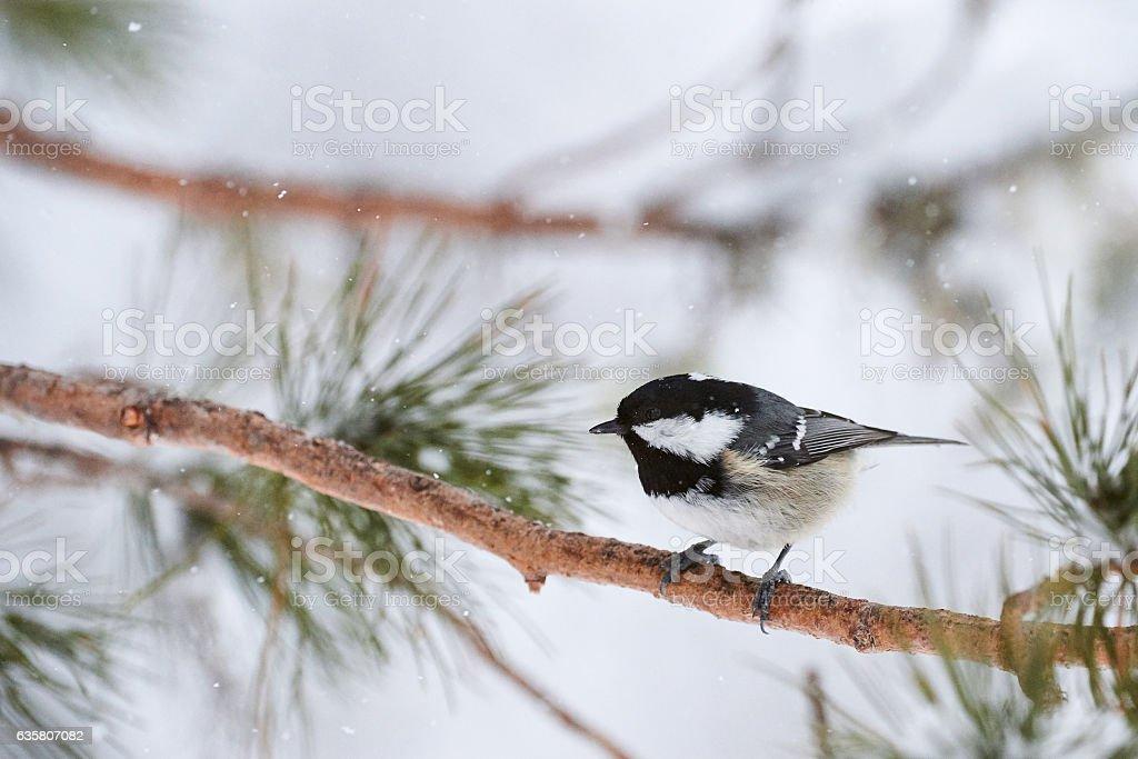 Coal tit in winter stock photo