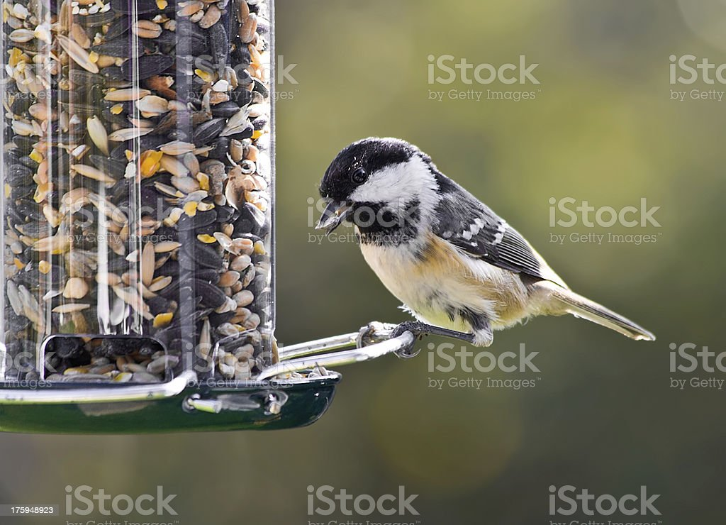 Coal Tit on a bird feeder. stock photo