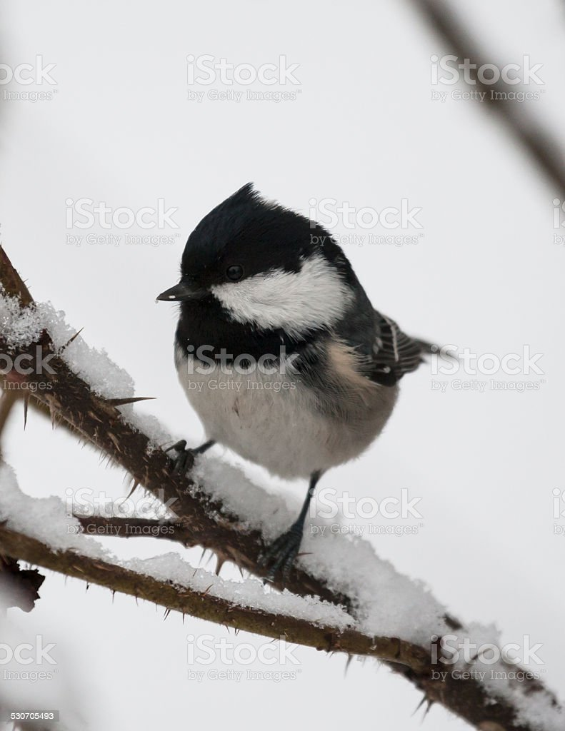 Coal tit on a snowy branch stock photo
