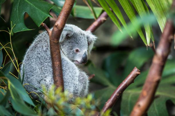 coala auf baum - faul ast stock-fotos und bilder