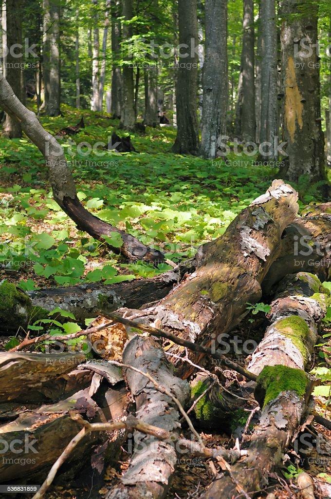 Coarse woody debris stock photo
