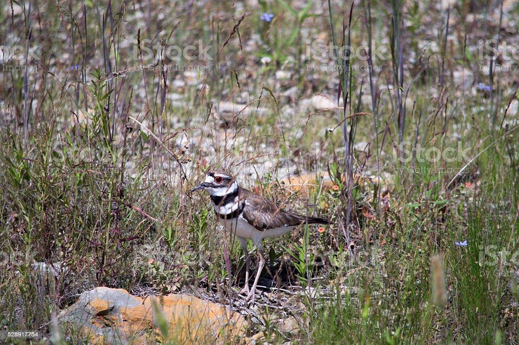 Coastal Bird: Killdeer stock photo