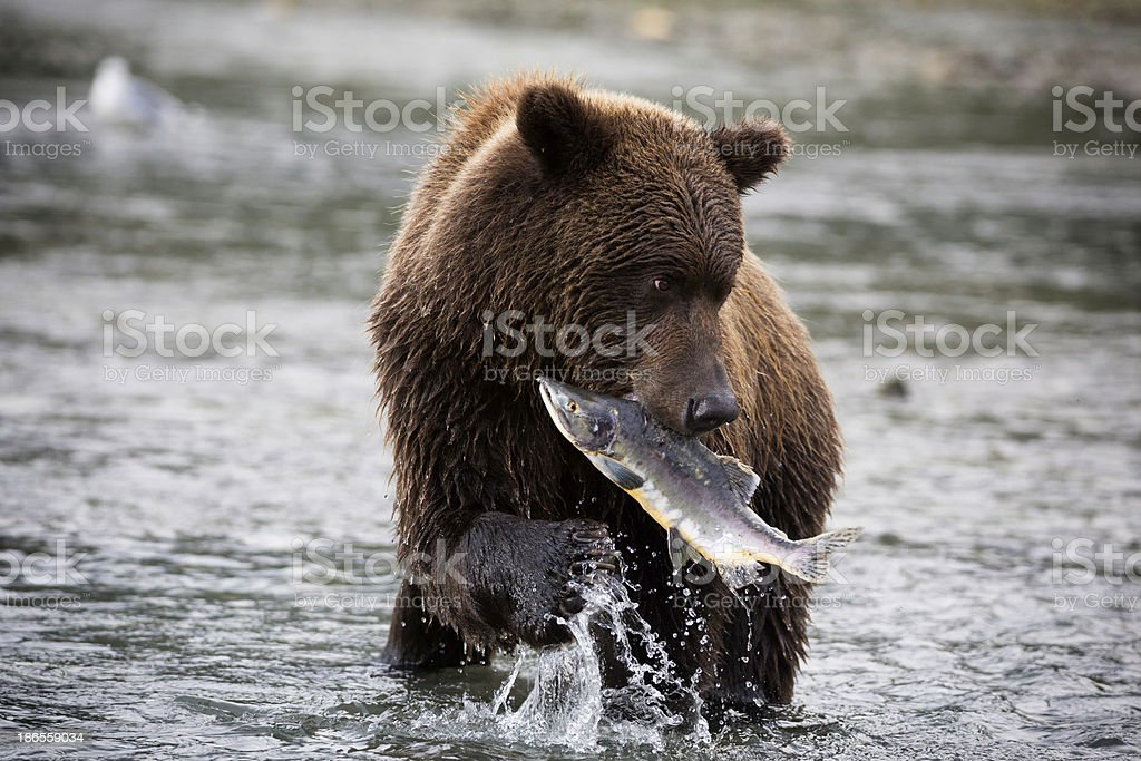 Coastal Brown Bear Catching a Salmon royalty-free stock photo