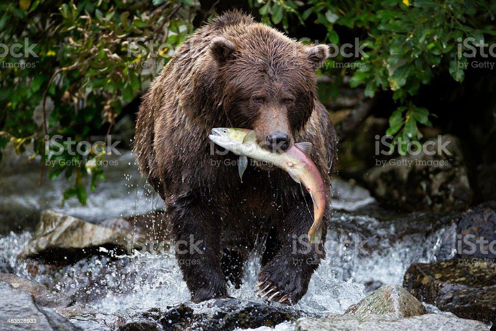 Coastal Brown Bear Catching a Salmon stock photo
