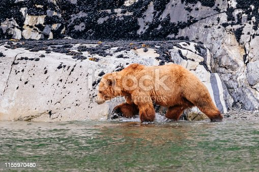A brown bear (Ursus arctos) walking along the shore of Glacier Bay National Park  in southeast Alaska