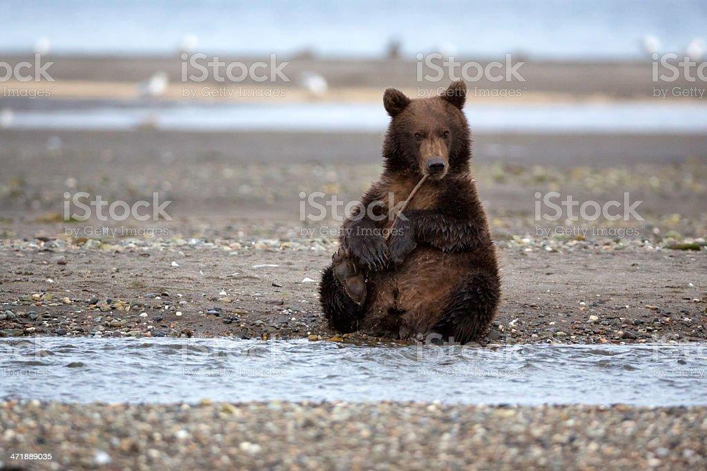 Coastal Brown Bear stock photo