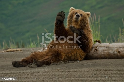 Female brown bear scratching her back against a log giving an impression she was waving at us.
