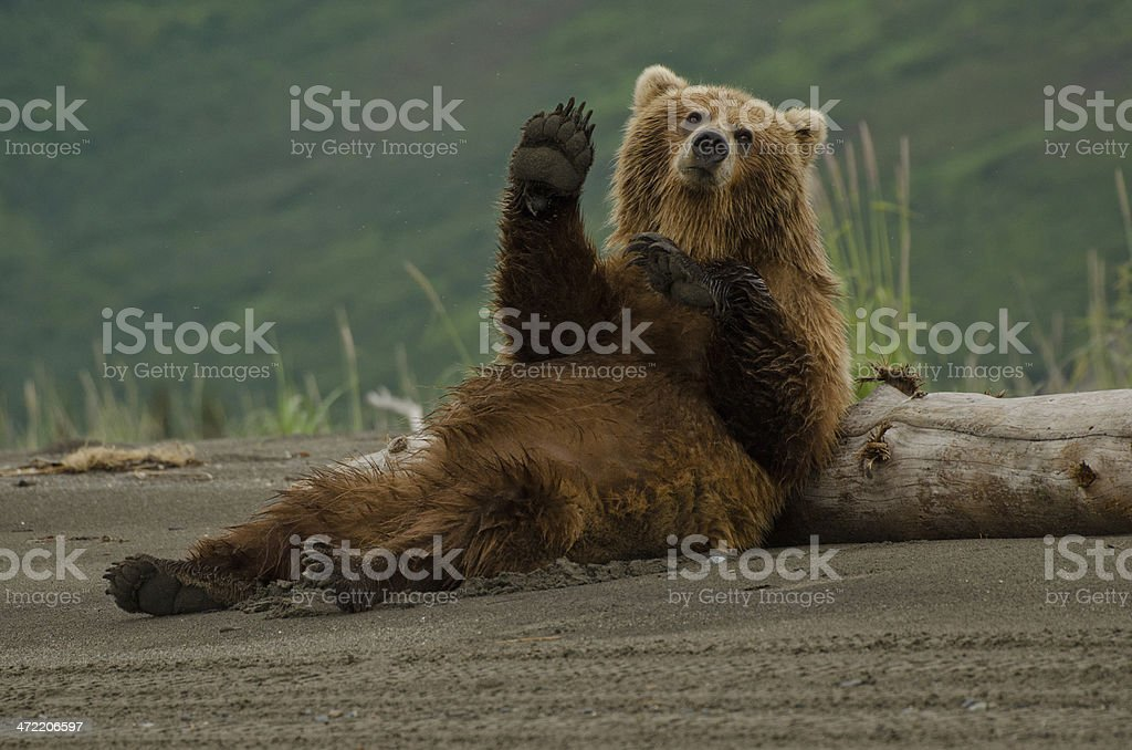 Coastal Brown Bear – Foto