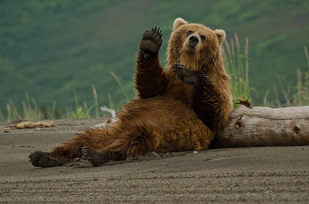 Coastal Brown Bear​​​ foto