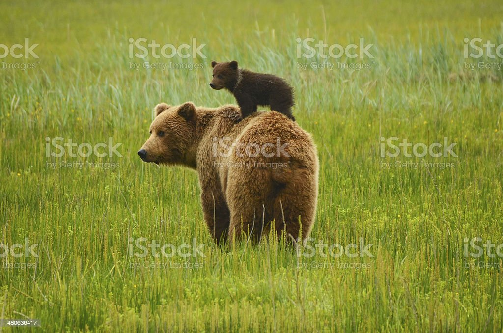 Coastal Brown Bear - foto de stock