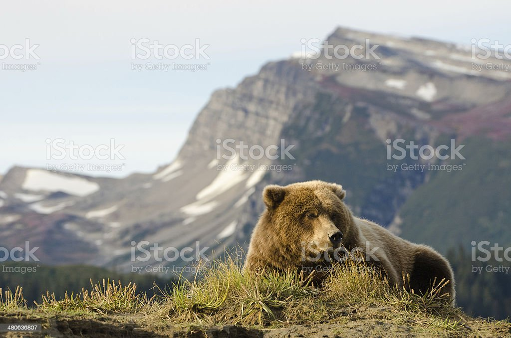 Coastal Brown Bear stock photo