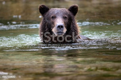 A Coastal Brown Bear on the hunt for salmon, Katmai National Park, Alaska.