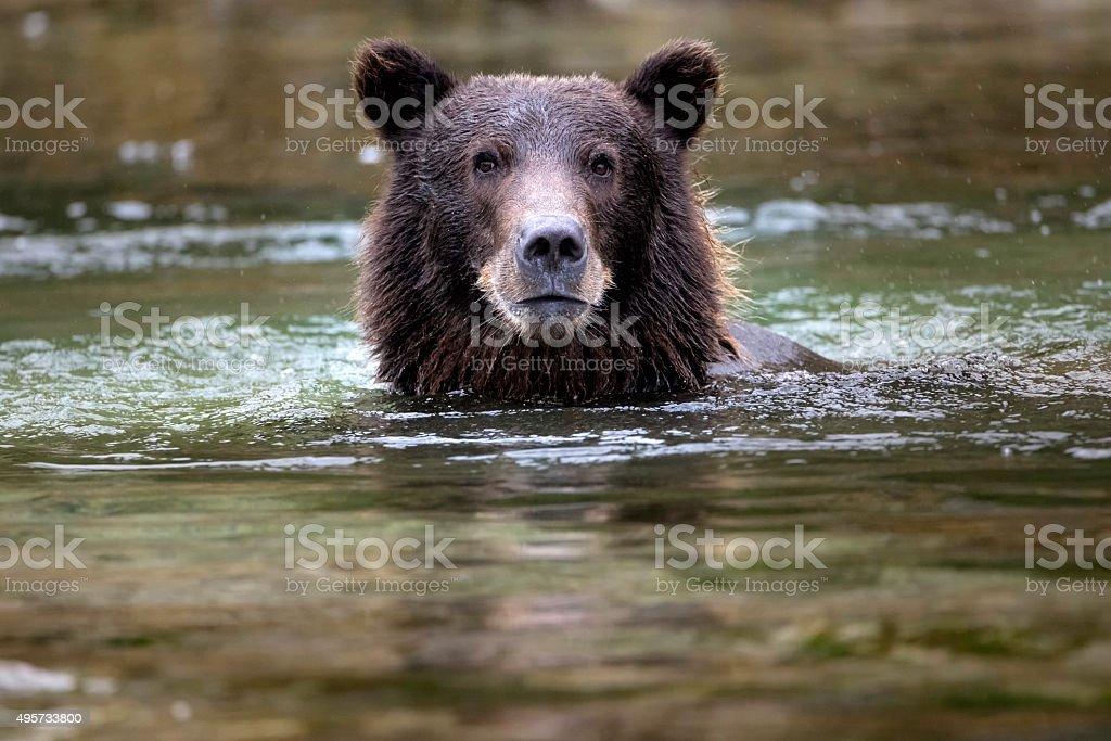 Coastal Brown Bear Swimming stock photo