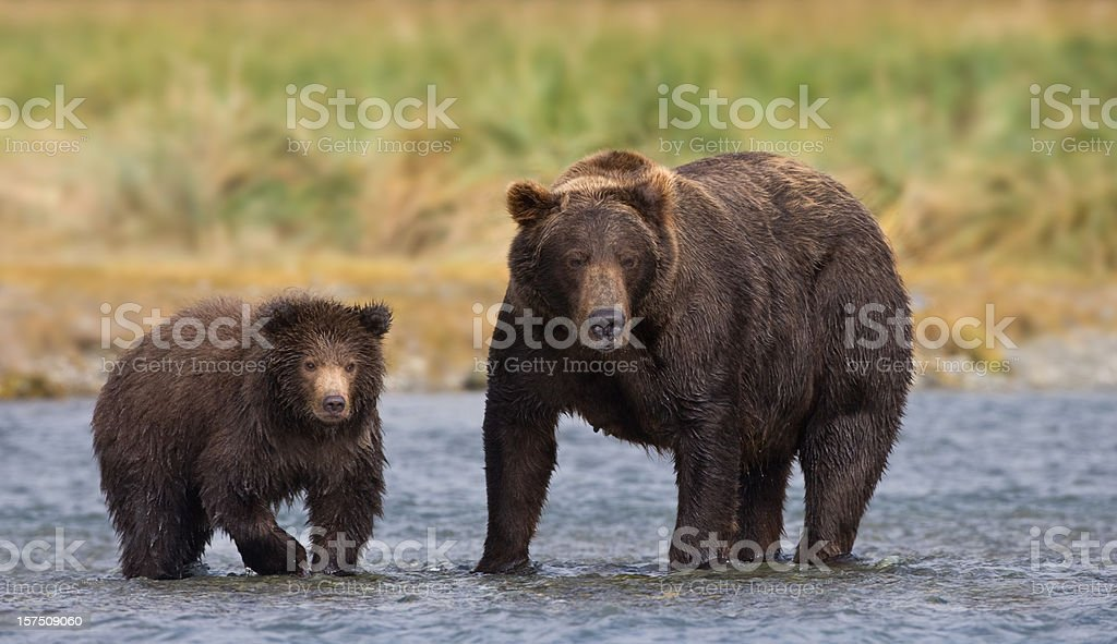 Coastal Brown Bears Mother and Cub royalty-free stock photo