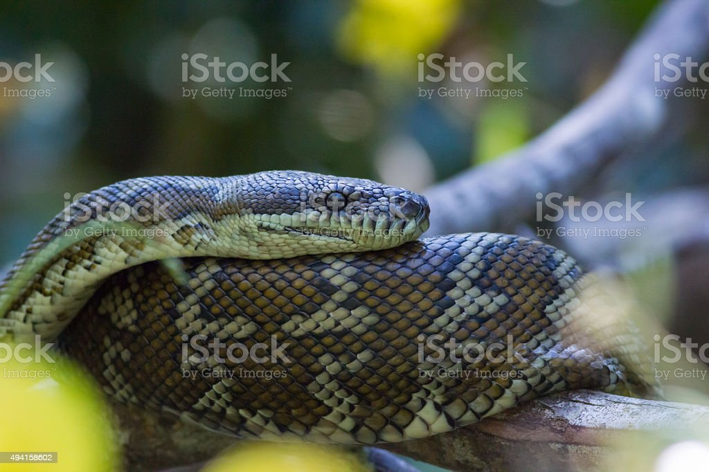 Coastal Carpet Python (Morelia spilota mcdowelli) stock photo