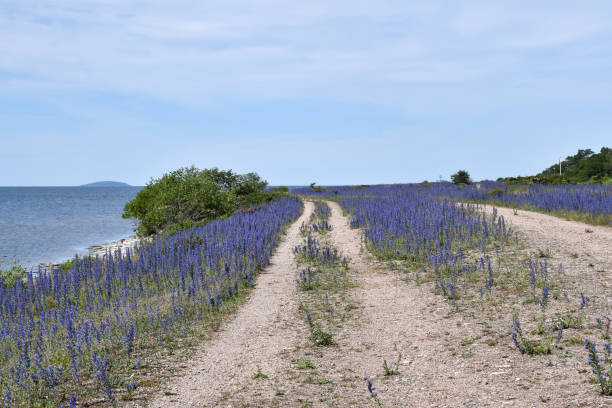 Coastal gravel road with blossom blueweed flowers stock photo