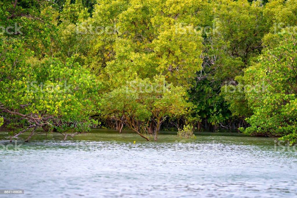 Coastal line with mangrove shrubs royalty-free stock photo