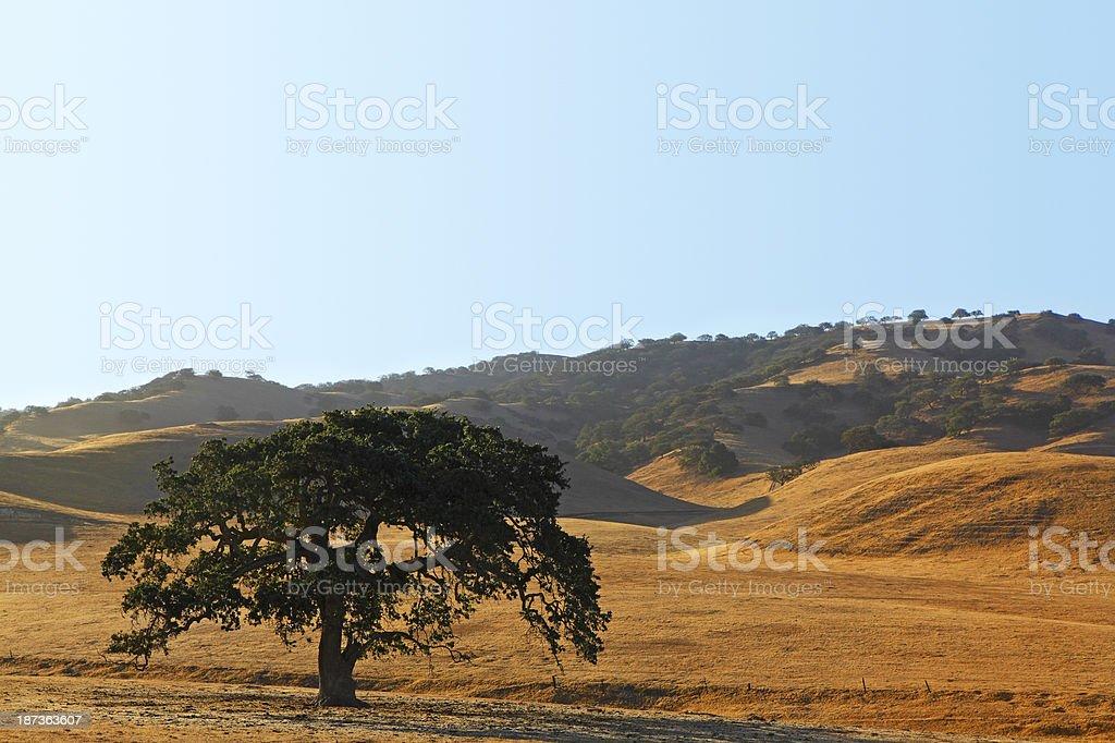 Coastal Live Oak Tree stock photo