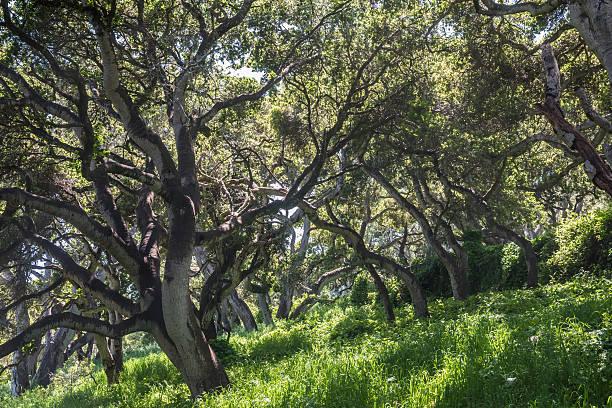 Coastal Live Oak Trees stock photo