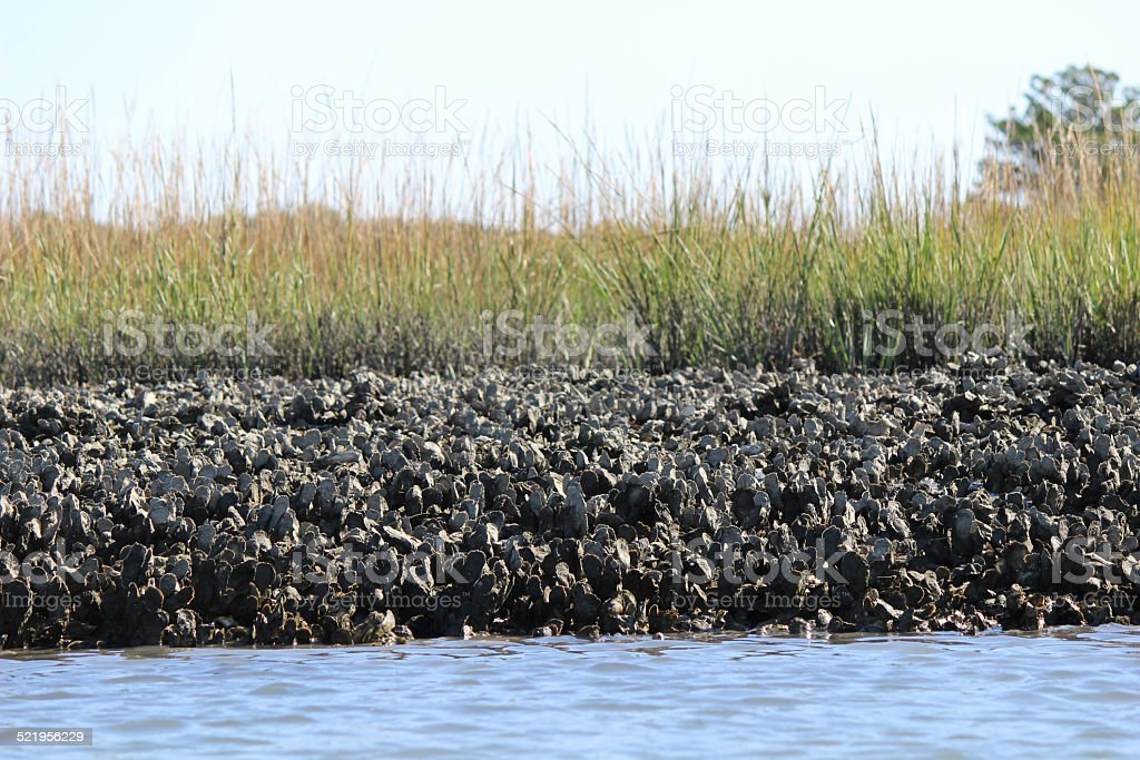 Coastal Oyster Bed  in Estuary stock photo