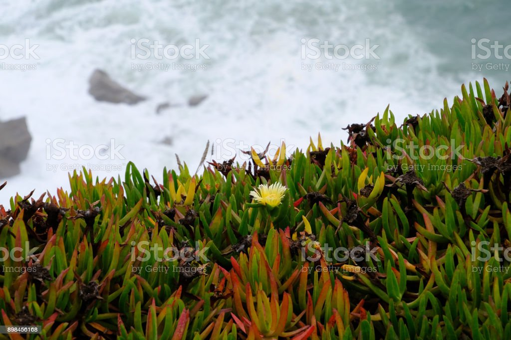Coastal Portuguese Plant Sea Fig stock photo