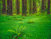 Coastal redwoods of Del Norte Redwoods St. Park, California