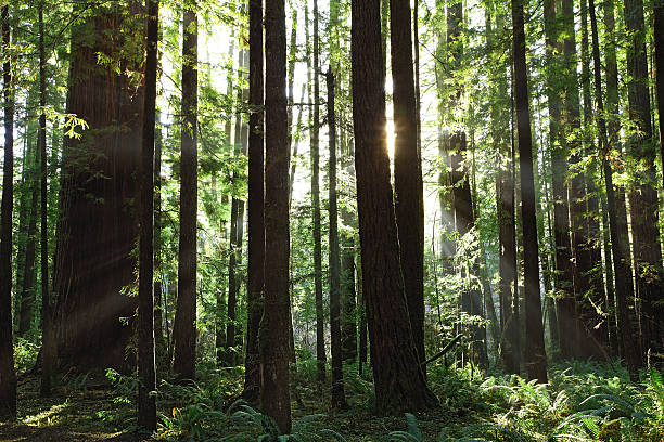 Coastal Redwoods stock photo