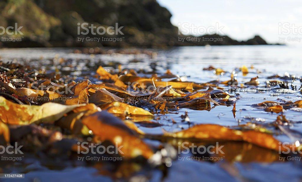 Coastal Seaweed stock photo